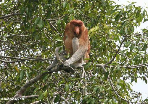 世界上最丑的动物——长鼻猴