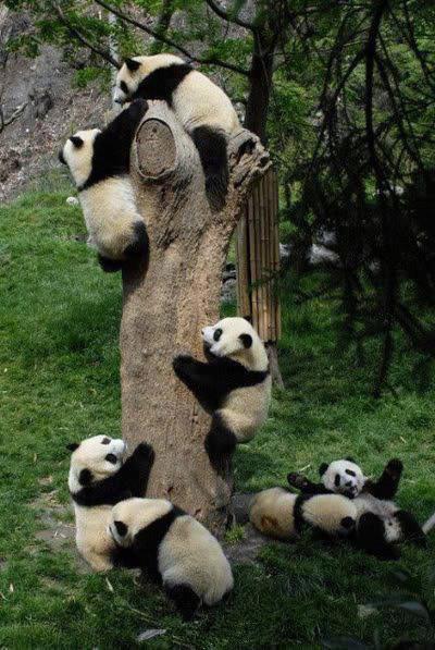 壁纸 大熊猫 动物 400_597 竖版 竖屏 手机
