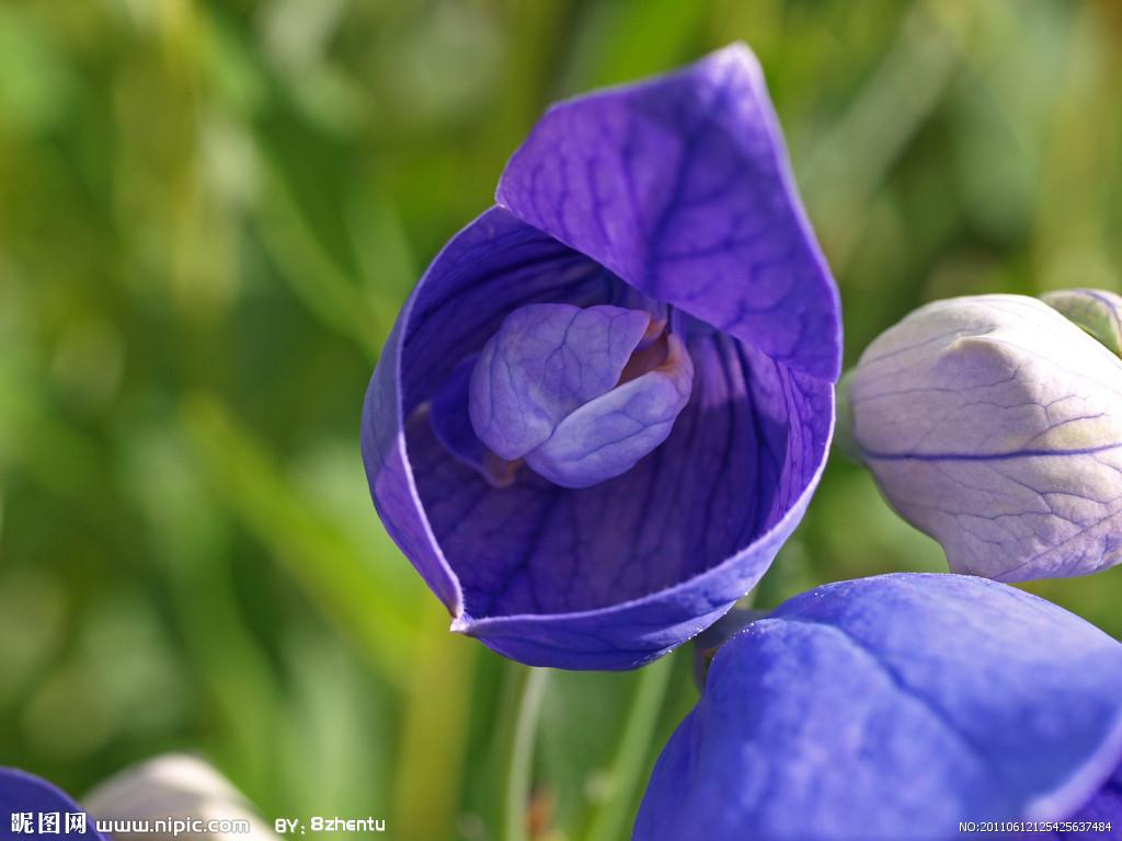 花暗蓝色或暗紫