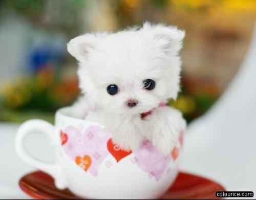 茶杯犬 茶杯犬图片 茶杯犬寿命高清图片