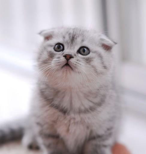 苏格兰折耳猫不仅外表可爱,而且身体强健,性格还与巨蟹座有