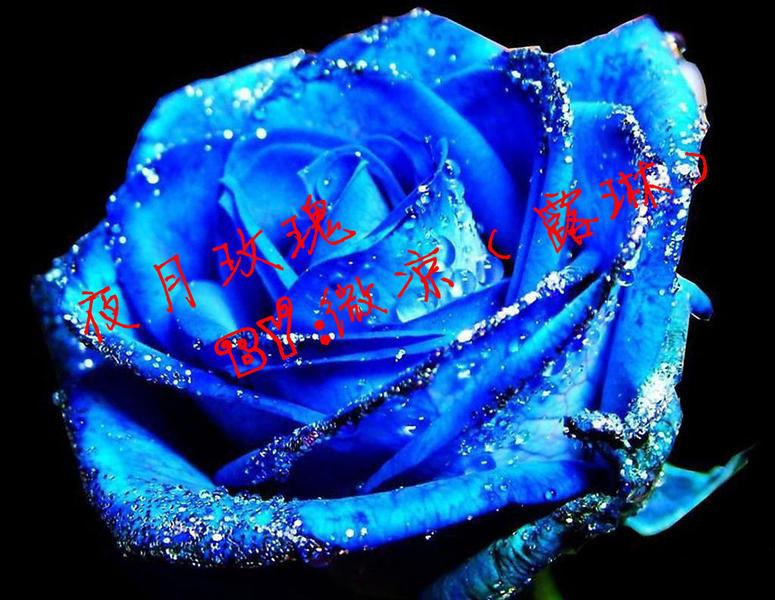 月玫瑰 奥比岛圈