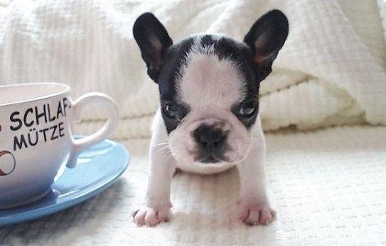 好可爱的茶杯犬啊,你想要吗?喜欢的收藏(转)