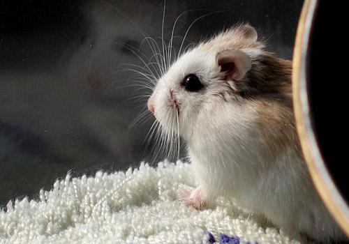你们觉得仓鼠可爱吗