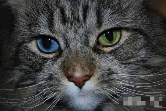 【期待】那些可爱的异瞳猫