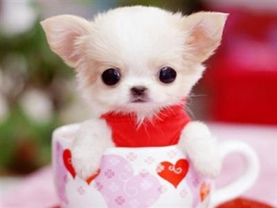 真的是高级宠物 茶杯贵宾犬比较萌 觉得小小的装在杯子里太可爱哈哈