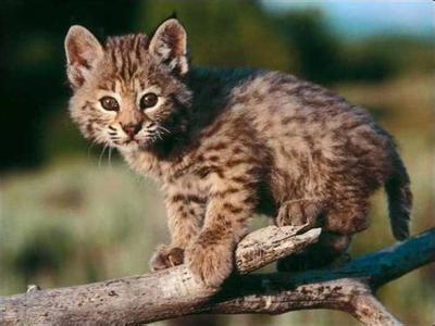 是猫科豹属的一种动物