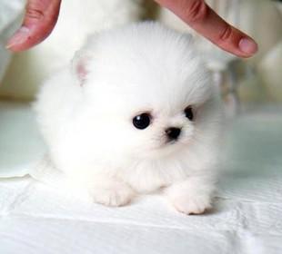 给我最可爱的茶杯犬图片